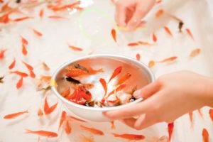 秋の風物詩!金魚の正しい飼い方と注意すること