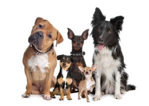 どっちが飼いやすい?小型犬と大型犬の特徴をご紹介