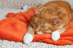 オレンジ色のネコ