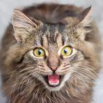 猫の鳴き方