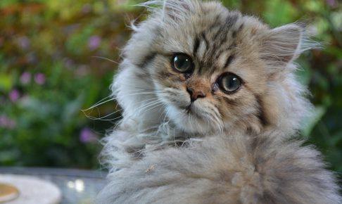 チンチラ猫